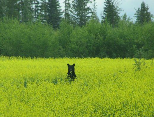 Bear in Canola field - July 2009 in Bluehills