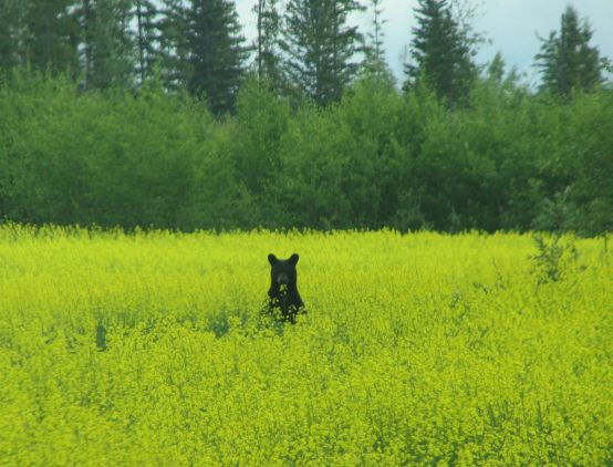 Bear in Canola field - July 2009 in Bluehills