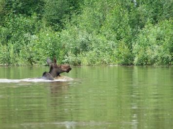 moose swimming