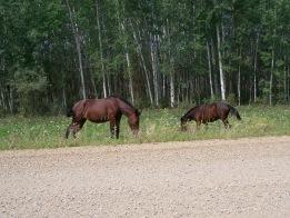 wild horses near Chateh