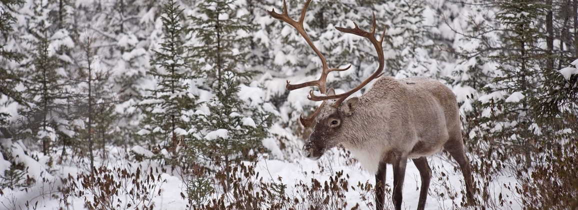 Caribou in Northwest Alberta Boreal Forest